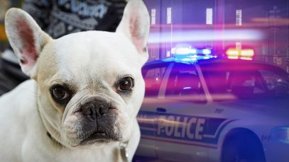 1614424146_French-Bulldog-Thefts-on-Rise-Breeders-Say-Microchips-Could-Help.jpg